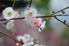 White plum blossom stock photo