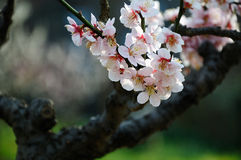 White plum blossom Stock Images