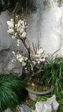 The white plum blossom Royalty Free Stock Photo