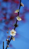 White plum blossom under blue sky. Background are red  plum blossom Royalty Free Stock Photography