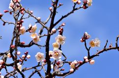 White plum blossoms. Stock Images