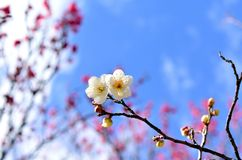 White plum blossoms. Royalty Free Stock Photography