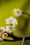White plum blossoms stock images