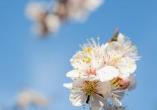 White Plum Blossoms Royalty Free Stock Photo