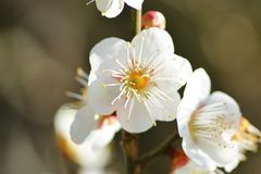 White plum blossoms. In Japan plum blossoms bloom Spring is near Royalty Free Stock Images
