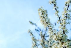 White plum blossoms on a spring day in the garden, the background is blurred Royalty Free Stock Image