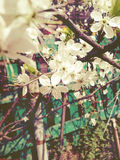 White Plum Blossoms Stock Photo