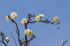 White Plum. Eastphoto, tukuchina,  White Plum, nature beauty Stock Photography