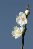 White plum flower Royalty Free Stock Photo