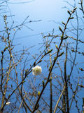 White plum flower blooming lonely among budding branches. With blue sky background Stock Images