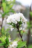 White plum flower Royalty Free Stock Photography