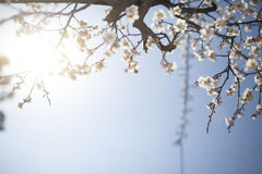 White plum flower in blossom Royalty Free Stock Image