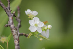 White plum flower in blossom season,china. The White plum flower in blossom season,china royalty free stock images