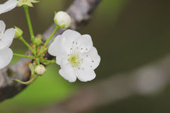 White plum flower in blossom season,china. The White plum flower in blossom season,china royalty free stock photography