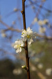 White Plum Flowers Stock Images