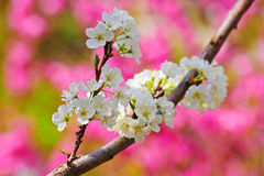 The white plum flowers in garden Royalty Free Stock Images