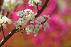 The white plum flowers Royalty Free Stock Photos