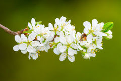 White plum flowers or Prunus domestica on green background. Cluster of plum flowers or Prunus domestica during early summer, Sweden Stock Photos