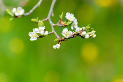 White plum flowers or Prunus domestica on green background. Plum flowers or Prunus domestica, detail of one flower on a branch during early summer, selective Stock Photos