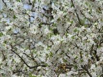 White plum tree blossom Royalty Free Stock Photos
