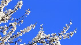 White plum tree blossoms against blue sky stock video