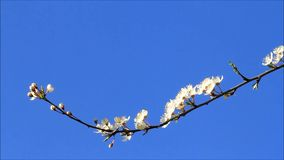 White plum tree blossoms against blue sky. Springtime white plum tree blossoms against blue sky stock video