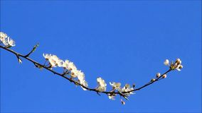 White plum tree blossoms against blue sky. Springtime white plum tree blossoms against blue sky stock video footage