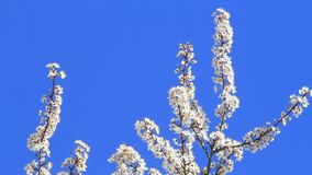 White plum tree blossoms against blue sky stock video footage