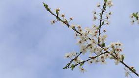 White plum tree blossoms against a blue sky. White plum tree blossoms in springtime stock footage