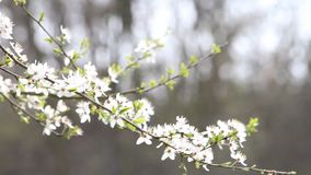 White plum tree blossoms stock footage