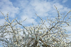 White plum tree flower texture and blue sky Stock Image