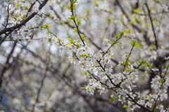 White Plum tree spring blossom Royalty Free Stock Photo