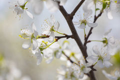 White Plum tree spring blossom Royalty Free Stock Image