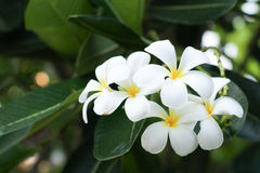 White plumaria. Plumeria flower are well know in asian Stock Images