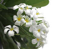 White plumaria. Plumeria flower are well know in asian Stock Image