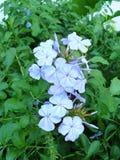 white plumbago or cape leadwort purple flowers Stock Images