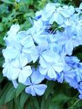 White plumbago or cape leadwort purple flowers Stock Photo