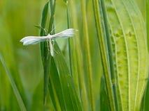 White Plume Moth Pterophorus pentadactyla, in grassland Royalty Free Stock Photos