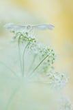 White plume moths, Pterophorus pentadactyla in soft focus Stock Photography