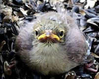 White Plumed Honeyeater Chick Baby Royalty Free Stock Photos
