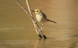 White-plumed Honeyeater. Lichenostomus penicillatus, perched on a branch about to drink from an outback lagoon Stock Photography