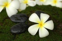 White plumeria Stock Image