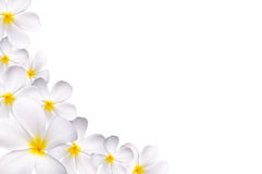 White plumeria Royalty Free Stock Photo