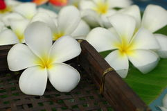 White plumeria Royalty Free Stock Images