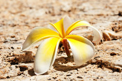 White plumeria Royalty Free Stock Photography