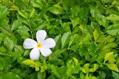 White plumeria Stock Photo