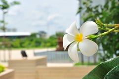 White plumeria Royalty Free Stock Photography