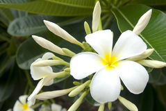 White plumeria Royalty Free Stock Image