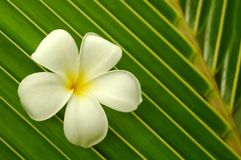 White plumeria Royalty Free Stock Photos