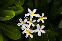 White Plumeria Alba, Frangipani or West Indian Jasmine flower. Plumeria (common name frangipani) is a genus of flowering plants in the dogbane family Stock Photo